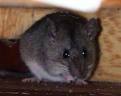ネズミの画像 p1_9